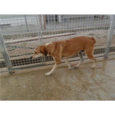 Comune di SAN PRISCO<br />cane - Meticcio<br />941000001881575