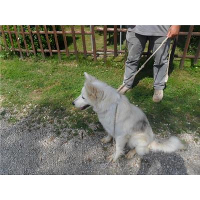 Comune di CAIVANO - cane - Microchip 380260080044835