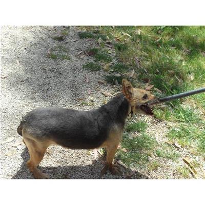 Comune di CAIVANO - cane - Microchip 380260040278922
