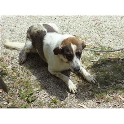 Comune di CAIVANO - cane - Microchip 380260002142293
