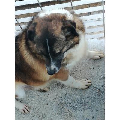 Comune di CAIVANO - cane - Microchip 380260042436097