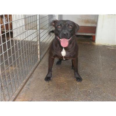 Comune di NAPOLI<br />cane - Staffordshire Bull Terrier<br />380260043067013