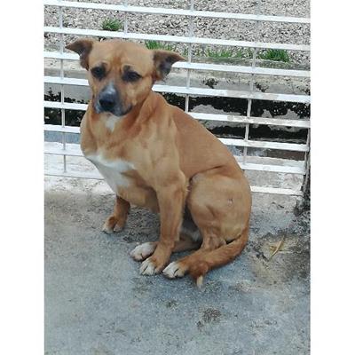 Comune di CAIVANO - cane - Microchip 380260042746678