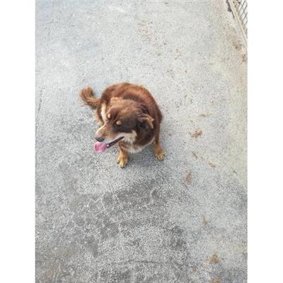 Comune di CAIVANO - cane - Microchip 380260004018357