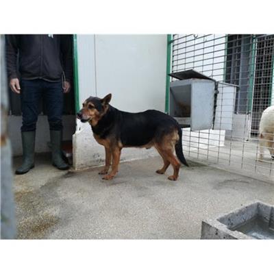 Comune di NAPOLI<br />cane - Meticcio<br />380260004036088