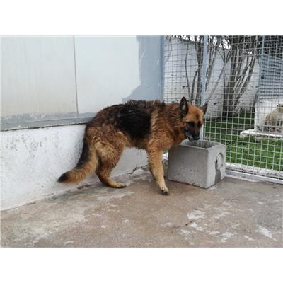 Comune di NAPOLI<br />cane - Pastore Tedesco<br />380260004021138