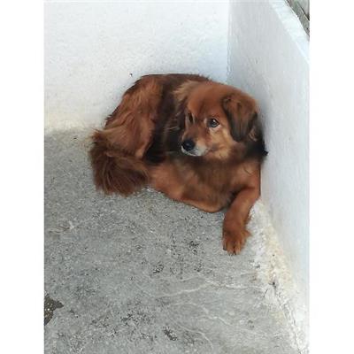 Comune di CAIVANO - cane - Microchip 380260004011360