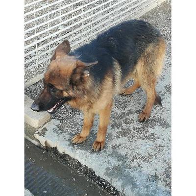 Comune di CAIVANO - cane - Microchip 380260101034635