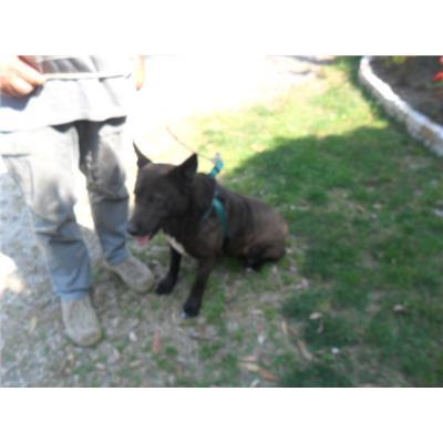 Comune di CAIVANO - cane - Microchip 977200005429718