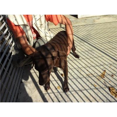 Comune di CAIVANO - cane - Microchip 977200005416022